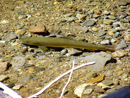 Bull Trout. Photo courtesy of Jim Cummins.